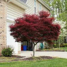 bloodgood japanese maple acer palmatum for sale brighter blooms