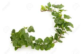 green ivy twig on a white background stock photo picture and