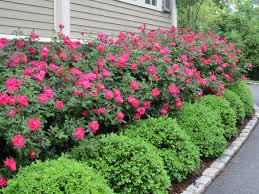 Bushes For Landscaping Wonderful Landscaping Bushes For Front Of House Home Design