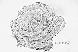 10 drawings of roses