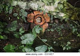 Largest Flower In The World Rafflesia World Biggest Flower Blossoming Cameron Highlands