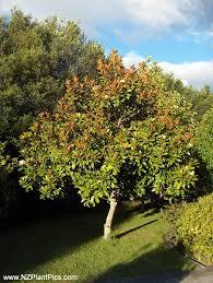 ornamental tree photography nz plant pics photography ornamental