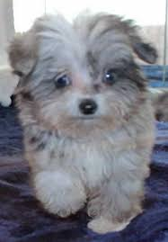 australian shepherd yorkie mix for sale aussie poo puppy for sale in boca raton south florida
