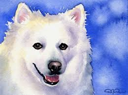 american eskimo dog in india 96 best american eskimo dog is a lovely dog images on pinterest