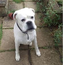 boxer dog white boxer dog appearance puppy through