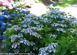 Hydrangea by Best Hydrangeas For Every Climate Hydrangea Growing Conditions