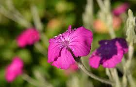 Flowers Information - lychnis rose campion mullein pink perennials guide to planting