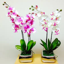 orchid plants orchids buy 6000 nursery plants n seeds online
