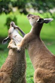 kangaroo fight free stock photo public domain pictures