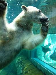 Zoo Lights Utah Hogle Zoo by Polar Bear Challenge Utah U0027s Hogle Zoo