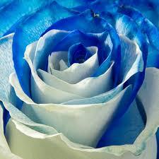 white and blue roses white and blue roses blooms farm direct magnaflor