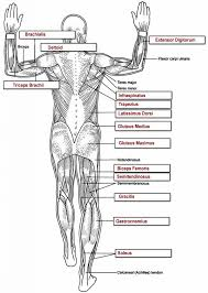 Anatomy And Physiology Muscle Labeling Exercises Anatomy Muscle Labeling Human Anatomy Diagram