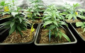 Recovering Cannabis Plants From High by What Are High Cbd Cannabis Strains And How Do They Differ From