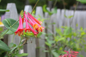 victorian native plants growing vines in the landscape cce suffolk long island gardening