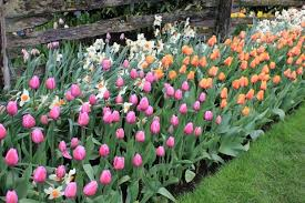 plant tulip bulbs in fall for a colorful spring garden one