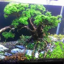 Aquascape Online Aquascape Tree Scape By Didin Uka Uka Pin By Aqua Poolkoh