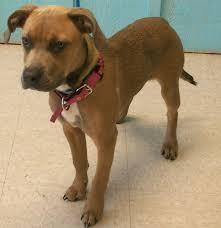 american pitbull terrier mix adopt autumn on american pitbull boxer mix and pitbull