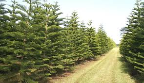 christmas trees for sale local christmas trees for sale at helemano farms hawaii reporter