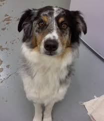 australian shepherd kalamazoo michigan pet of the day molly is a well mannered and beautiful 2 year old