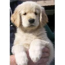 puppies indiana 24k goldens golden retriever breeder in crown point indiana