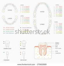 Human Dental Anatomy Human Teeth Stock Images Royalty Free Images U0026 Vectors Shutterstock