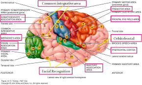 Anterior Association Area Association Areas Images Reverse Search