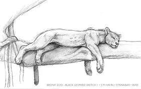bronx zoo leopard sketch i by synnabar on deviantart