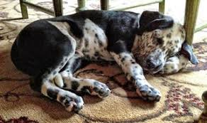 4 australian shepherd x dalmation dalmatian puppies and dogs for sale in usa