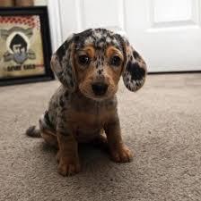Puppy Dog Eyes Meme - puppy dog eyes for days imgur