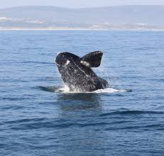 whale watching hermanus boat trips tours cape town
