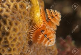christmas tree worm on a reef in south east florida stock photo