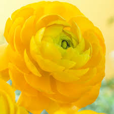 ranunculus flower zyverden butter cups ranunculus yellow bulbs set of 25