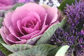 how to grow ornamental cabbage and flowering kale