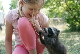 raccoon food raccoon diet feeding pet raccoons