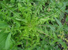 annual weeds not just greenfingers