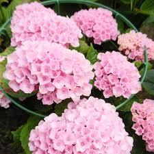 pink hydrangea hydrangea macrophylla magical revolution hokomarevo pink h