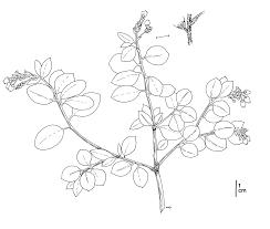 native plants of montana presidio manzanita