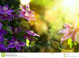 Beautiful Garden Images Art Summer Beautiful Garden Background With Clematis F Stock Photo