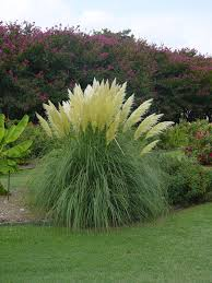 jet streams pas grass features extremely showy ivory plumes
