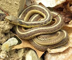 common garter snake wikipedia