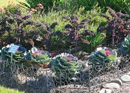 Color Up Ornamental Cabbage And Kale Add Garden Pizzazz Mississippi State
