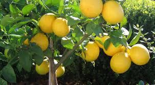 buy meyer lemon tree free shipping 79 99