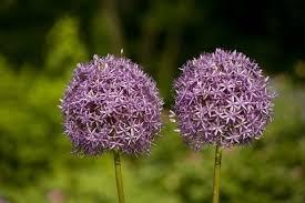 great design plant ornamental allium