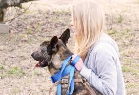training a belgian sheepdog dutch shepherd x belgian malinois protection dog training youtube