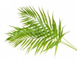 where to buy palms for palm sunday the meaning of palm sunday and the palms catholic centre