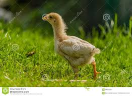 poultry backyard chickens stock photo image 58352237