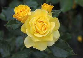 yellow roses with tips yellow plants gardening tips kerala news kerala