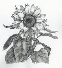 pictures pencil drawing of sunflowers drawing art gallery