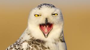 snowy owl invasion youtube
