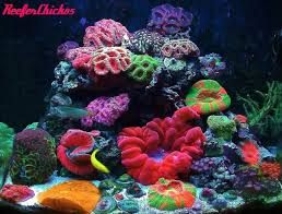 Marine Aquascaping Techniques September Ntotm Reeferchick85 U0027s 24g Candyland Reef Central
